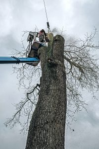 Arborist in platform cutting old oak with chainsaw.