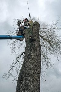 An arborist climbing and cutting a dead tree