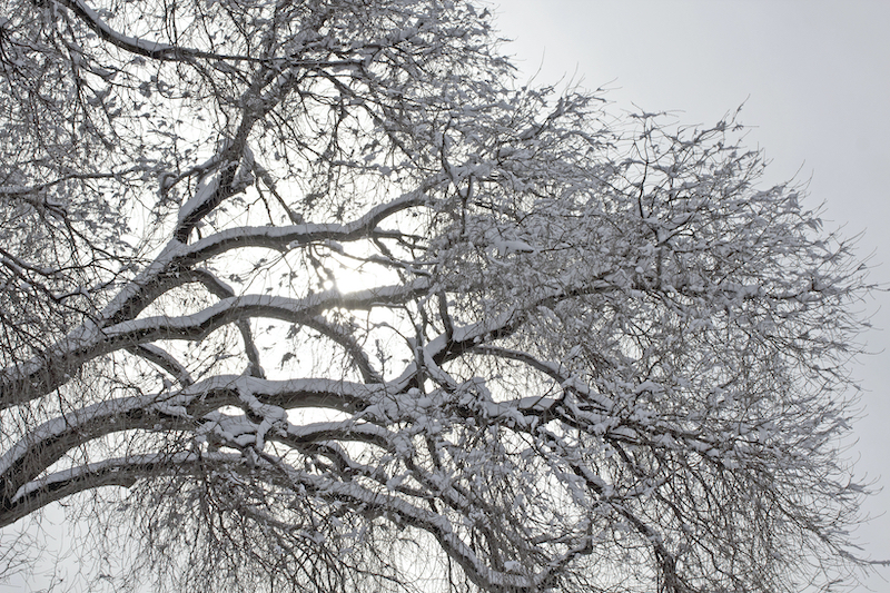 snow on frozen trees