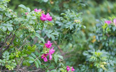 When Should Shrubs be Trimmed and How do You Ensure You've Done it Right?