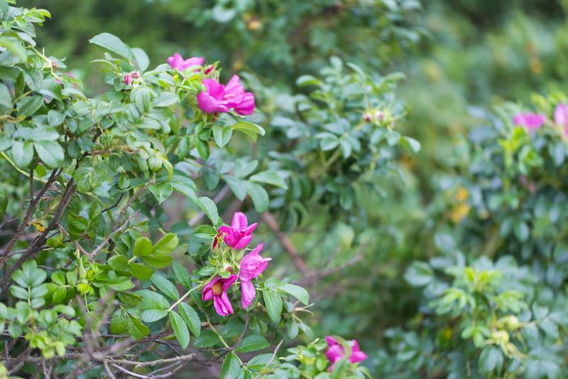 untrimmed rose bush